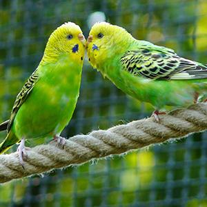 仲の良いセキセイインコ2羽の写真